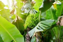 Mazzo di maturazione delle banane di Cuba verdi su un banano Fotografia Stock Libera da Diritti