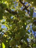 Mazzo di mele su un albero Immagini Stock