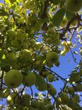 Mazzo di mele su un albero Fotografie Stock