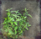 Mazzo di menta verde fresca Immagine Stock Libera da Diritti