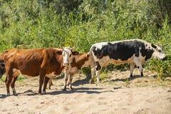 Mazzo di mucche che camminano sul campo di superficie sabbioso vicino alla foresta verde s immagini stock libere da diritti