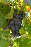 Mazzo di nero dell'uva Fotografia Stock