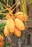 Mazzo di noci di cocco gialle Fotografia Stock Libera da Diritti
