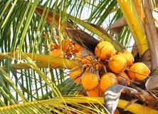 Mazzo di noci di cocco sull'albero Fotografia Stock Libera da Diritti