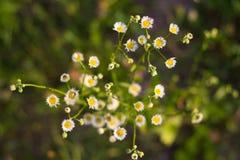 Mazzo di piccoli Wildflowers Fotografia Stock