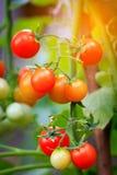 Mazzo di pomodori che maturano sul ramo Fotografia Stock Libera da Diritti