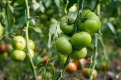 Mazzo di pomodori verdi Fotografie Stock Libere da Diritti