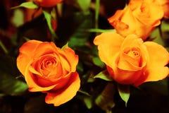 Mazzo di rose 1 Immagini Stock