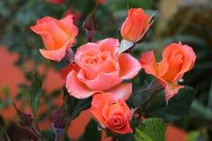 Mazzo di rose arancio con la rugiada di mattina sui petali Immagine Stock