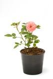 Mazzo di rose dentellare in flowerpot Fotografia Stock Libera da Diritti