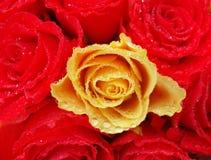 Mazzo di rose rosse con un singolo â di colore giallo uno con le gocce fotografie stock libere da diritti