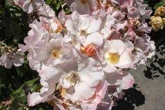 Mazzo di rose selvatiche bianche rosate in piena fioritura in roseto - fuoco selettivo immagini stock libere da diritti