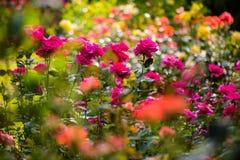 Mazzo di rose variopinte immagini stock