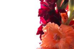 Mazzo di rosso dei gladioluses e del fondo delicato della pesca fotografie stock libere da diritti