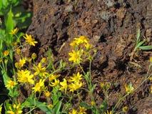 Mazzo di senecio Grahami che fiorisce vicino ad una roccia Immagine Stock Libera da Diritti