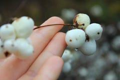 Mazzo di tenerezza dello Snowberry immagini stock