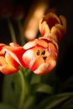 Mazzo di tulipani fotografia stock