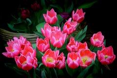 Mazzo di tulipani rosa vibranti Fotografia Stock