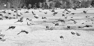 Mazzo di uccelli che volano nel parco La Casa Bianca di di DC di Washington C fotografia stock libera da diritti