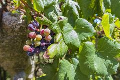Mazzo di uva fotografia stock libera da diritti
