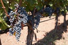 Mazzo di uva Immagini Stock