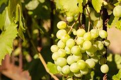 Mazzo di uva Immagine Stock Libera da Diritti