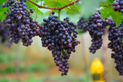 Mazzo di uva Immagini Stock Libere da Diritti