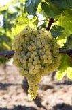 Mazzo di uva bianca sulla vite Immagini Stock