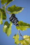 Mazzo di uva blu Fotografia Stock Libera da Diritti