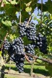 Mazzo di uva blu Fotografia Stock