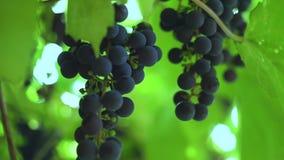 Mazzo di uva blu che appende su un ramo con le foglie verdi stock footage
