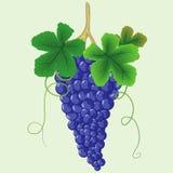 Mazzo di uva blu con le foglie Illustrazione di Stock