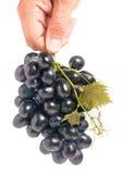 Mazzo di uva blu in una mano isolata su fondo bianco fotografie stock