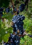 Mazzo di uva di Cabernet-Sauvignon in Pauillac, Francia fotografia stock libera da diritti