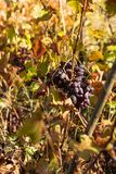 Mazzo di uva fresca di Borgogna immagini stock