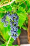 Mazzo di uva lilla in vigna fotografia stock libera da diritti