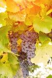 Mazzo di uva lilla in vigna fotografia stock