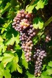 Mazzo di uva matura sulla vite con le grandi foglie verdi Struttura verticale del raccolto stagionale fotografia stock