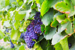 Mazzo di uva nella pianta delle vigne Immagini Stock Libere da Diritti
