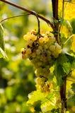 Mazzo di uva piena fotografia stock libera da diritti
