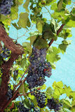 Mazzo di uva rossa Immagine Stock Libera da Diritti