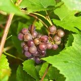 Mazzo di uva rossa matura Immagine Stock Libera da Diritti