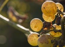 Mazzo di uva selvaggia fotografia stock