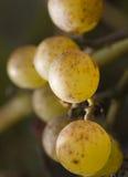 Mazzo di uva selvaggia immagini stock