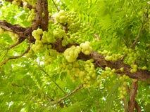 Mazzo di uva spina della stella Immagini Stock Libere da Diritti
