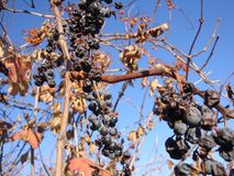 Mazzo di uva su un campo nei precedenti immagini stock
