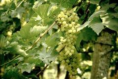 Mazzo di uva verde Fotografia Stock