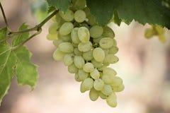 Mazzo di uva verde Fotografia Stock Libera da Diritti