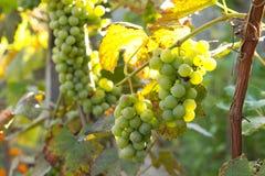 Mazzo di uva verde Fotografie Stock Libere da Diritti