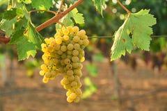 Mazzo di uva verde alla vite Scena all'aperto del paese Raccolta del concetto di stagione immagine stock libera da diritti
